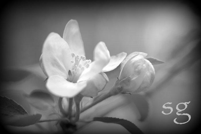 sg.apple blossom b&w glow boost 3