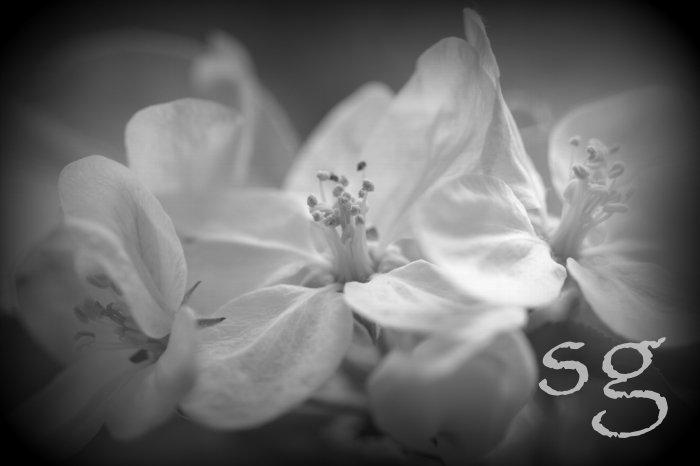 sg.apple blossom b&w glow boost 4
