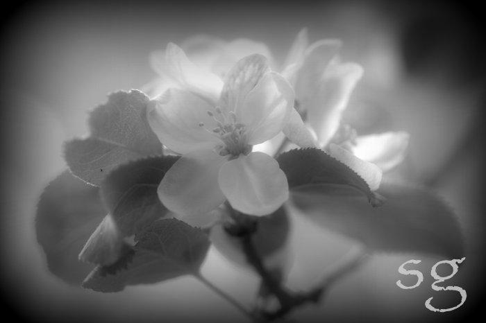 sg.apple blossom b&w glow boost