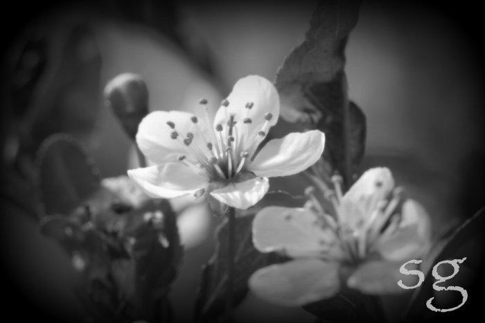 sg.blossom b&w glow back fill soften vingette