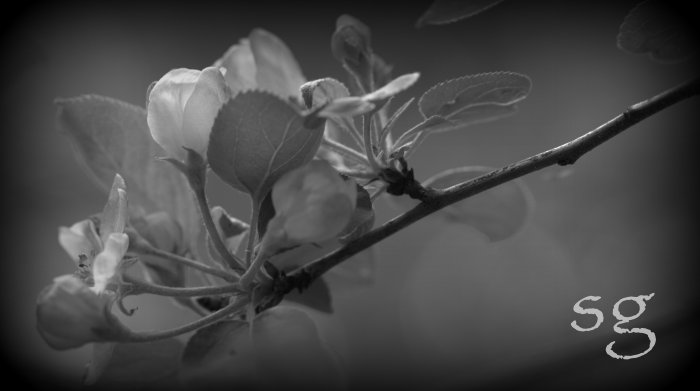 sg.branch blossom crop b&w